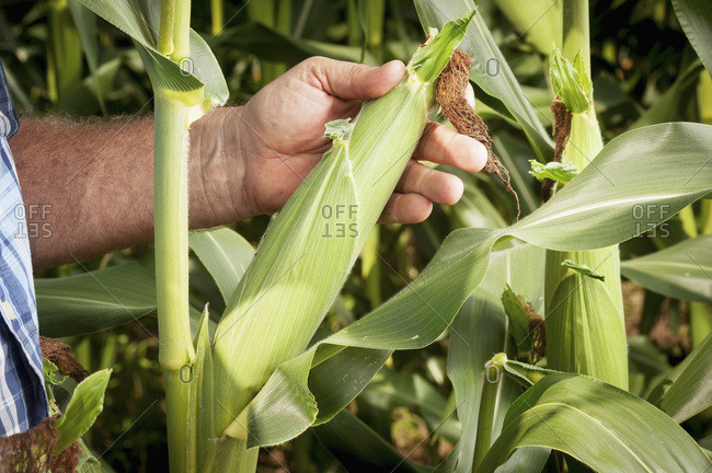 Close Up Of Farmer Inspecting An Ear Of Corn; Port Republic, Maryland, United States Of America