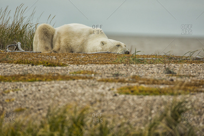 Polar Bear (Ursus Maritimus) Laying On A Sand Bar Along The South Coast Of Hudson Bay; Manitoba, Canada