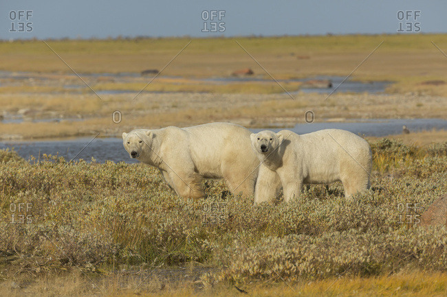 A Couple Polars Hang Out In The Grass On The South Coast Of Hudson Bay, Near Gillam; Manitoba, Canada
