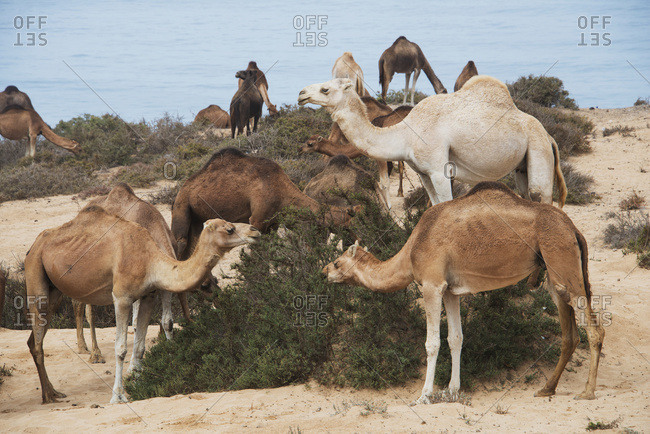 Single-Humped Group Of Camels Eating Native Bush In The Sand Dunes; Agadir-Ida Ou Tanane, Morocco