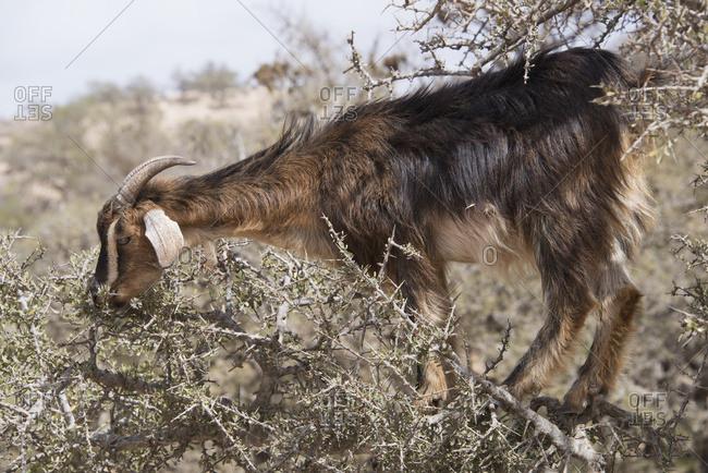 Goat Grazing On Argan Tree Standing On Limb Amongst Thorns; Agadir-Ida Ou Tanane, Morocco
