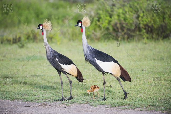 Grey Crowned Crane Parents With Newly Hatched Colt Near Ndutu, Ngorongoro Crater Conservation Area; Tanzania