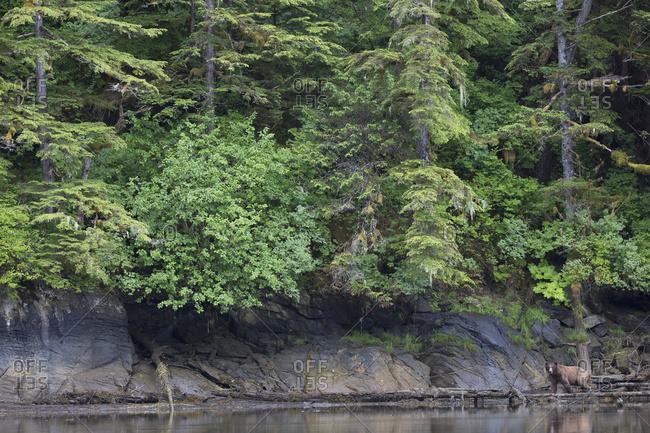 Grizzly Bear (Ursus Arctos Horribilis) Walking On Shore, Khutzymateen Bear Sanctuary; British Columbia, Canada