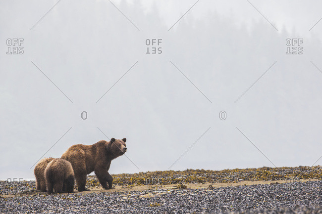 Grizzly Bear (Ursus Arctos Horribilis) And Her Cubs Walking Along The Shore In The Mist, Khutzymateen Bear Sanctuary; British Columbia, Canada