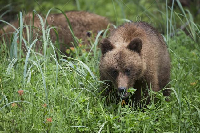 Young Grizzly Bear (Ursus Arctos Horribilis) Eating Sedge Grass, Khutzymateen Bear Sanctuary, Near Prince Rupert; British Columbia, Canada