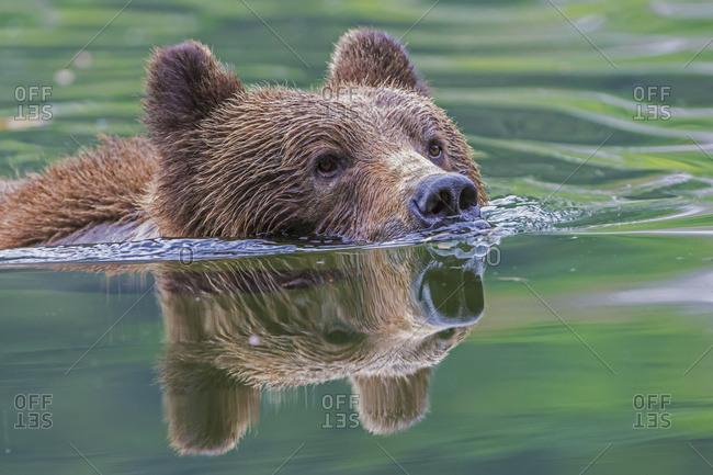 Grizzly Bear (Ursus Arctos Horribilis) Swimming Across The River, Khutzymateen Bear Sanctuary, Near Prince Rupert; British Columbia, Canada