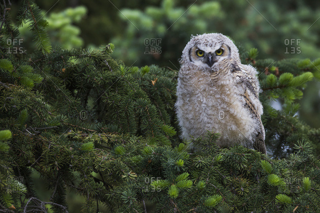 Young Great Horned Owl (Bubo Virginianus)