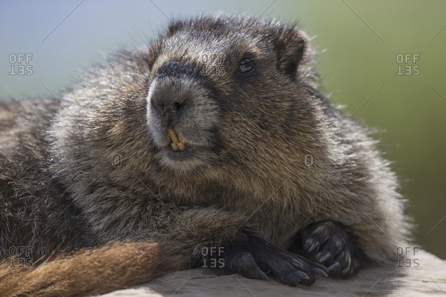 Hoary Marmot (Marmota Caligata), Yoho National Park; British Columbia, Canada