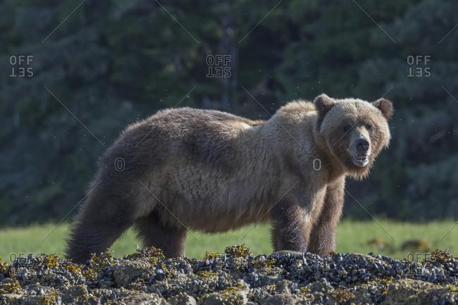 Grizzly Bear (Ursus Arctos Horribilis) At Sunrise, Khutzymateen Bear Sanctuary; British Columbia, Canada