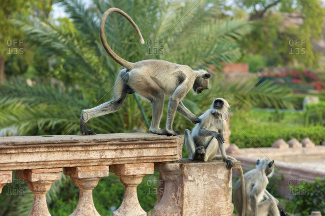 Monkeys At Mandore Garden; Jodphur, Rajasthan, India