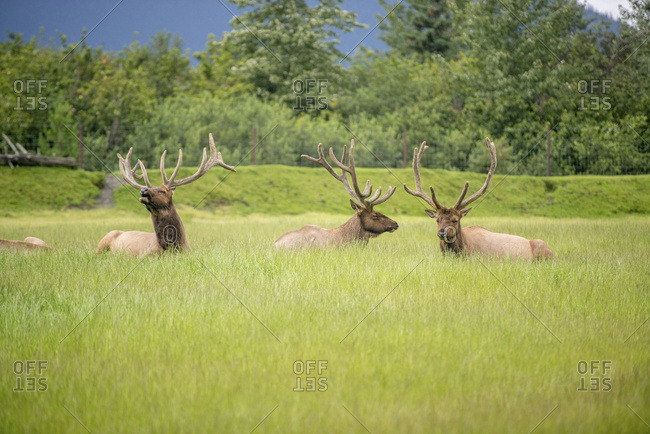 Elk (Cervus Canadensis) Grazing In Green Field; Alaska, United States Of America