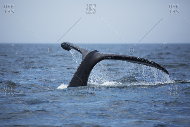Humpback Whale (Megaptera Novaeangliae) Tail At The Surface Of The Water; Massachusetts, United States Of America