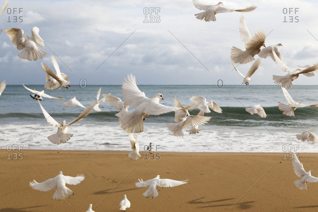 A Flock Of White Birds Takes Flight On A Beach At The Water's Edge; Benidorm, Spain