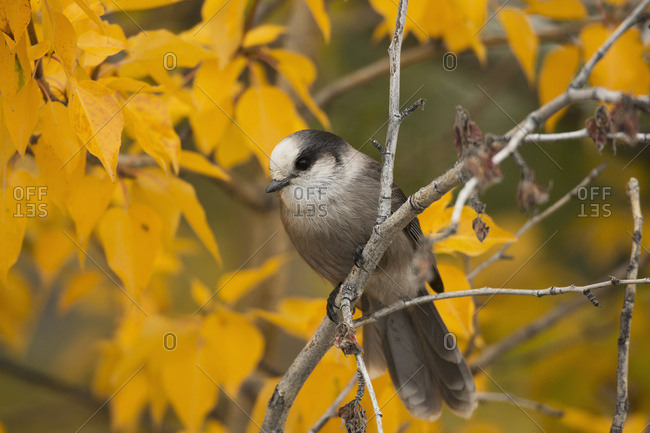 Gray Jay Or Whiskey Jack (Perisoreus Canadensis) In A Tree In Autumn; Haines Junction, Yukon, Canada