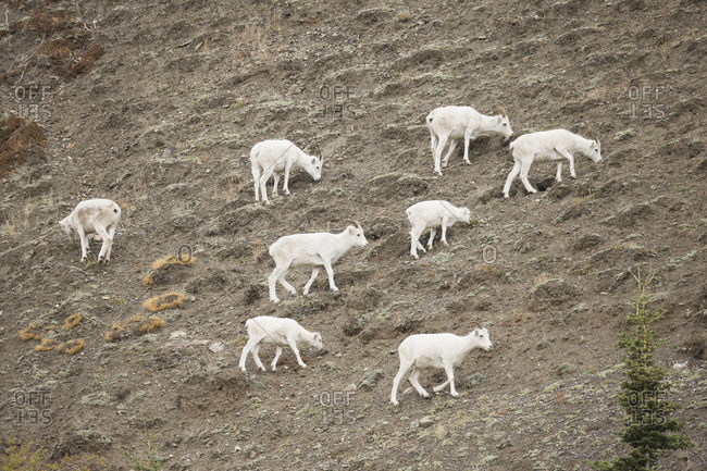 Dall Sheep (Ovis Dalli) Feeding On The Slopes Of Sheep Mountain In Kluane National Park, Near Haines Junction; Yukon, Canada