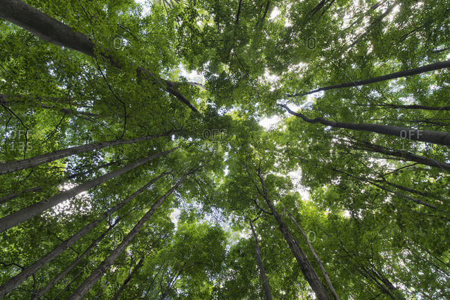 Looking Up Into The Canopy Of Deciduous Trees In An Ontario Forest; Strathroy, Ontario, Canada