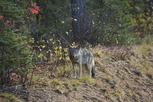 A Wolf (Canis Lupus) Stands Beside Highway 60 Which Runs Through Algonquin Park; Ontario, Canada