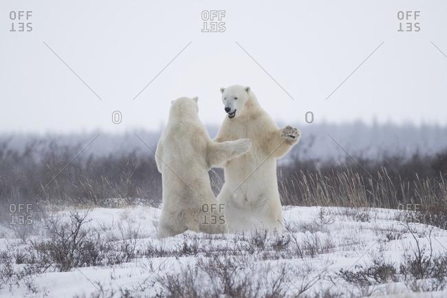 Polar Bears (Ursus Maritimus) Sparring In The Snow During Winter Near Churchill; Manitoba, Canada