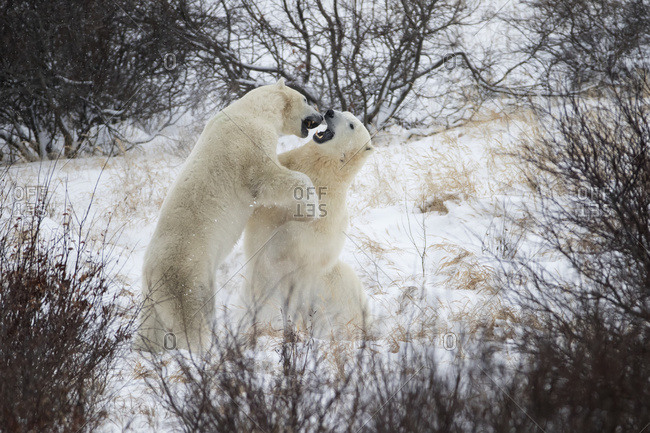Polar Bears (Ursus Maritimus) Sparring In The Snow During Winter Near Churchill; Manitoba, Canada