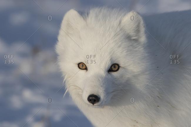 Arctic Fox (Vulpes Lagopus)In The Sunshine; Churchill, Manitoba, Canada