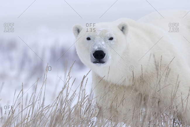 Polar Bear (Ursus Maritimus) Walking Through The Snow And Blizzard Near Churchill; Manitoba, Canada