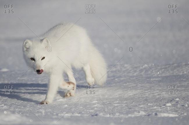 Arctic Fox (Vulpes Lagopus) In The Sunshine; Churchill, Manitoba, Canada