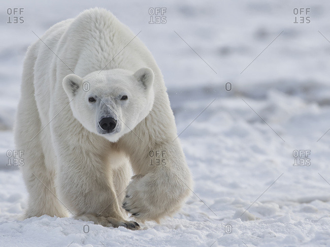 Polar Bear (Ursus Maritimus) Walking Through The Snow And Ice Of Hudson Bay; Manitoba, Canada