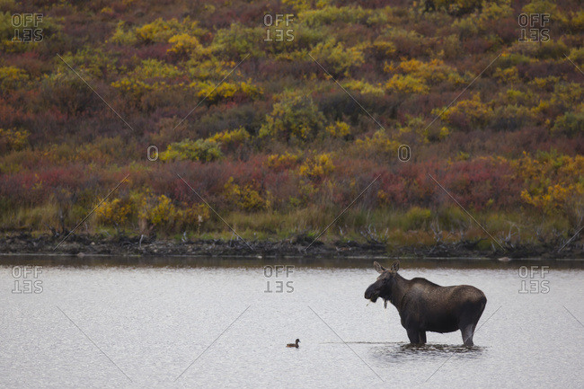 Moose (Alces Alces) Standing In Front Of A Duck In A Pond Along The Dempster Highway; Yukon, Canada