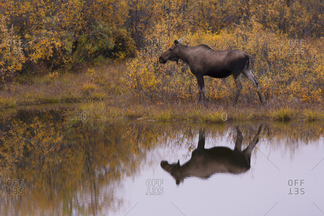 Moose (Alces Alces) Reflected In A Roadside Pond Along The Dempster Highway; Yukon, Canada