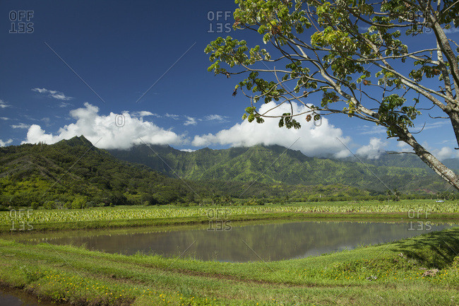 Taro Patch, Valley Walls, Hanalei Valley; Hanalei, Kauai, Hawaii, United States Of America