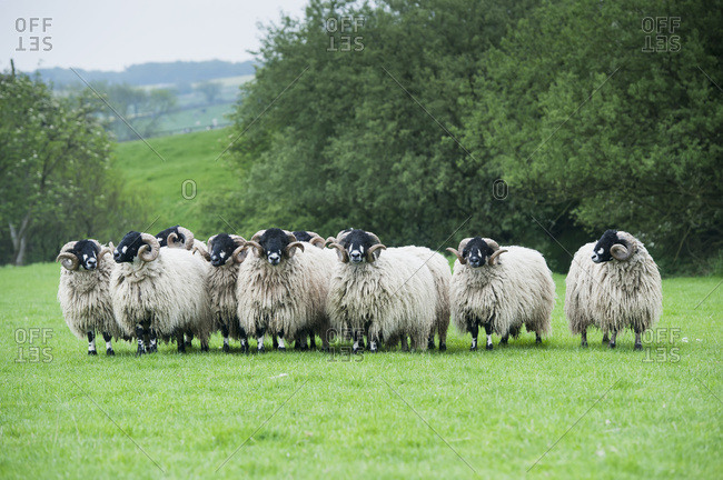 Pedigree Dalesbred Yearling Rams In Wool; Yorkshire, England
