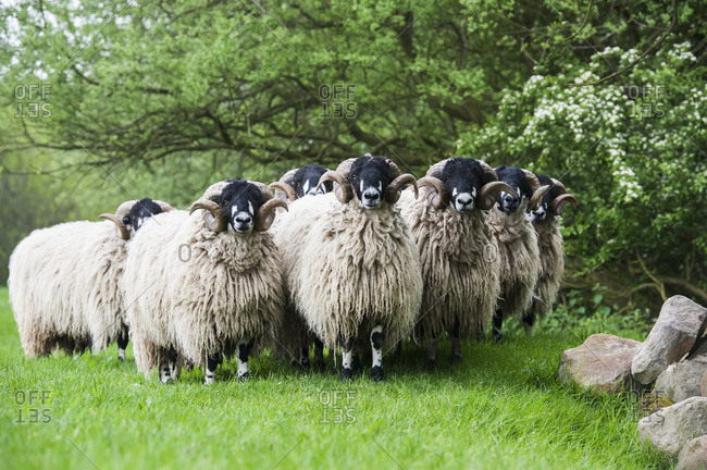 Pedigree Dalesbred Yearling Rams In Wool; Yorkshire, England