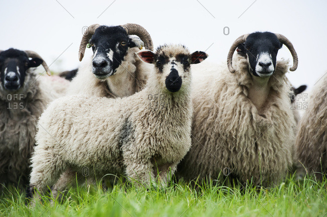 Dalesbred Ewes With Crossbred Masham Lamb At Foot, Sired By A Teeswater Ram; Yorkshire, England