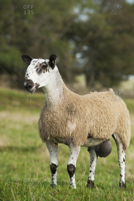 Blue Faced Leicester Ram Lamb In Field; Cumbria, England