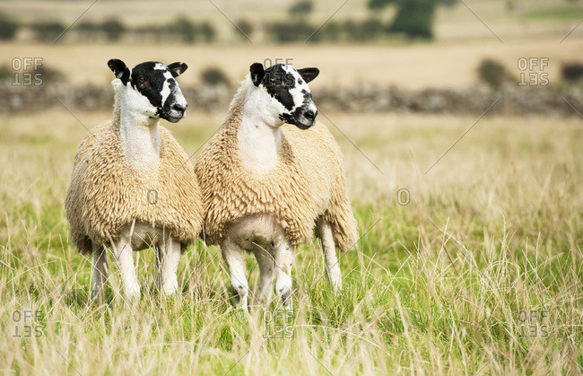 North Of England Mule Lambs Ready For Sale; Cumbria, England