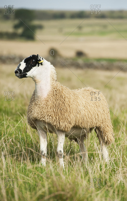 North Of England Mule Lamb Ready For Sale; Cumbria, England