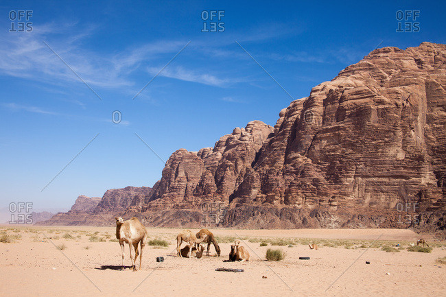 Camels; Wadi Rum, Jordan