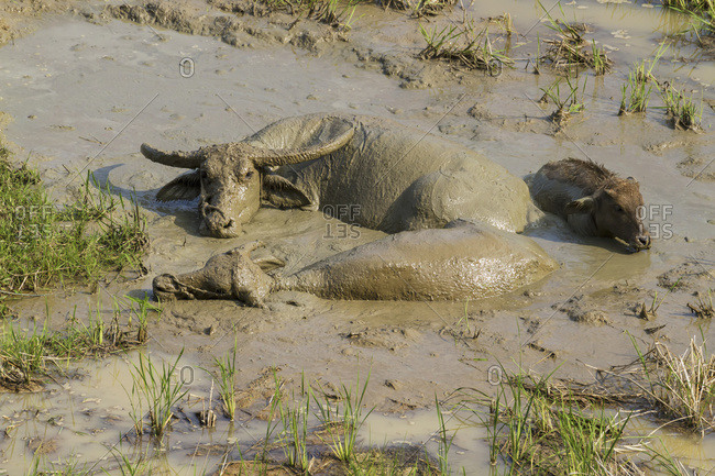 Water Buffaloes In The Mud, Seri, Toraja Land, South Sulawesi, Borneo, Indonesia