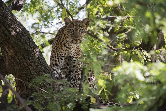 Leopard Staring From Tree In Lake Manyara National Park; Tanzania