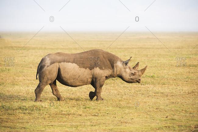 Black Rhinoceros Walking In Ngorongoro Crater; Tanzania