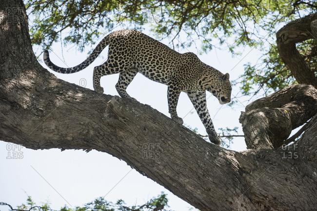 Leopard Walking On Tree Limb Near Ndutu, Ngorongoro Crater Conservation Area; Tanzania