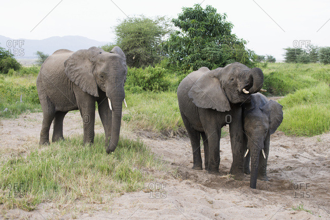 Elephants Getting Water From Hole They Dug In Sand In Lake Manyara National Park; Tanzania