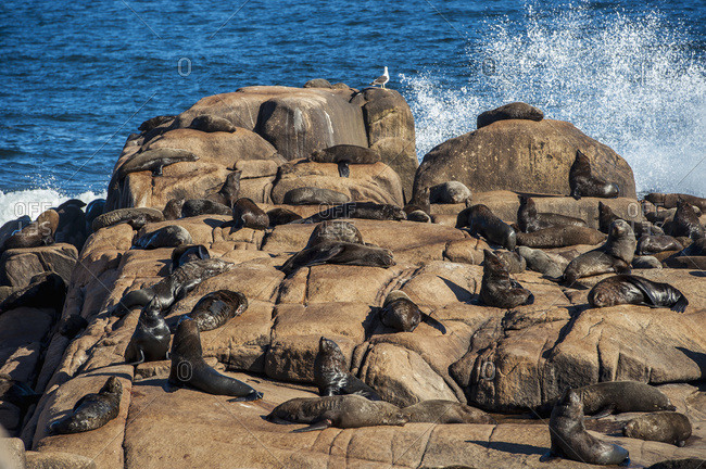 Sea Lions Basking In The Sun On A Rock With Waves Crashing And Splashing; Cabo Polonio, Uruguay