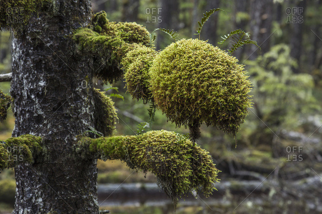 Moss Grows In Large Clumps On The Branches Of The Old Trees Within The Ancient Forests Of Naikoon Provinical Park; Haida Gwaii, British Columbia, Canada