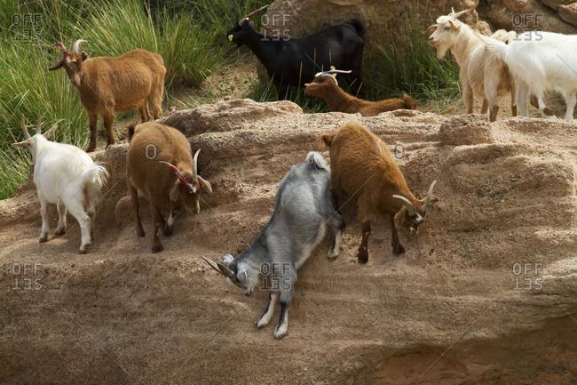 Goats, Bulgan, South Gobi Province, Mongolia