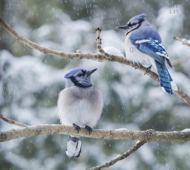 Pair Of Blue Jays (Cyanocitta Cristata) Sitting On A Tree Branch In A Snowfall; Ontario, Canada
