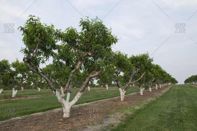 Nectarine Trees In An Orchard; Hershey, Pennsylvania, United States Of America