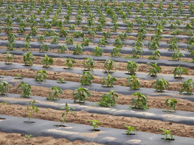 New Pepper Plants; Swedesboro, New Jersey, United States Of America