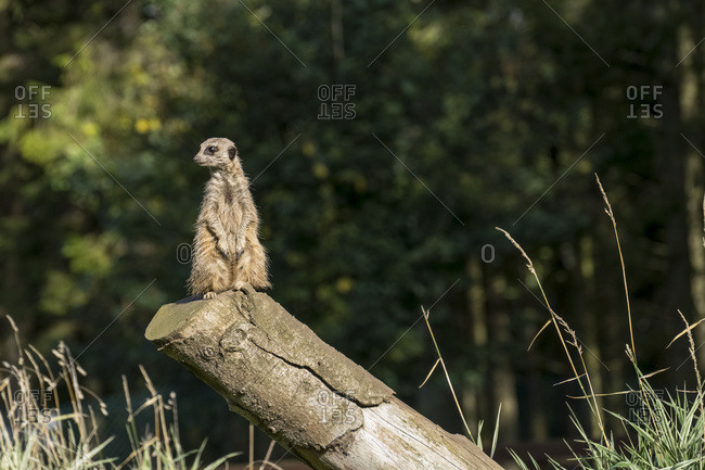 A Meerkat (Suricata Suricatta) Sits Watchful And Alert On A Log; North Yorkshire, England