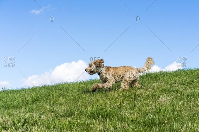 A Blond Cockapoo Runs Across A Grass Field Against A Blue Sky; South Shields, Tyne And Wear, England
